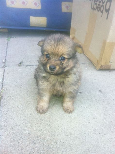 pomeranian cross yorkie pomeranian cross yorkie puppy for sale bedford bedfordshire pets4homes