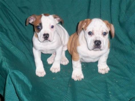 bulldog beagle mix puppies beagle bulldog mix puppies www imgkid the image kid has it