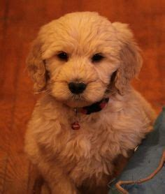 doodle acres ontario puppy mill 1000 ideas about standard goldendoodle on f1b