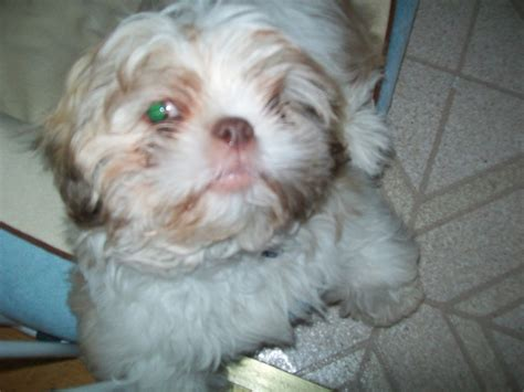how much is shih tzu puppy dogs shih tzu