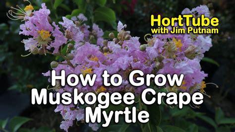 myrtle light how to grow muskogee crape myrtle light lavender pink
