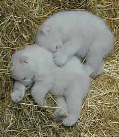 Baby Polar Bears Sleeping