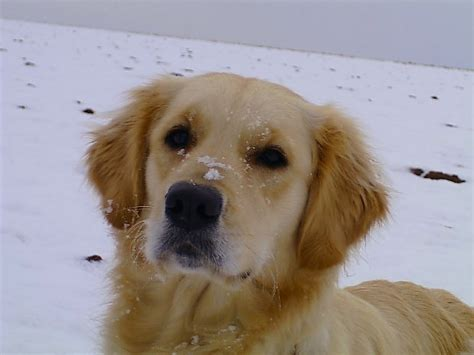 golden bay retriever golden retriever hunderasse g hundeseite de