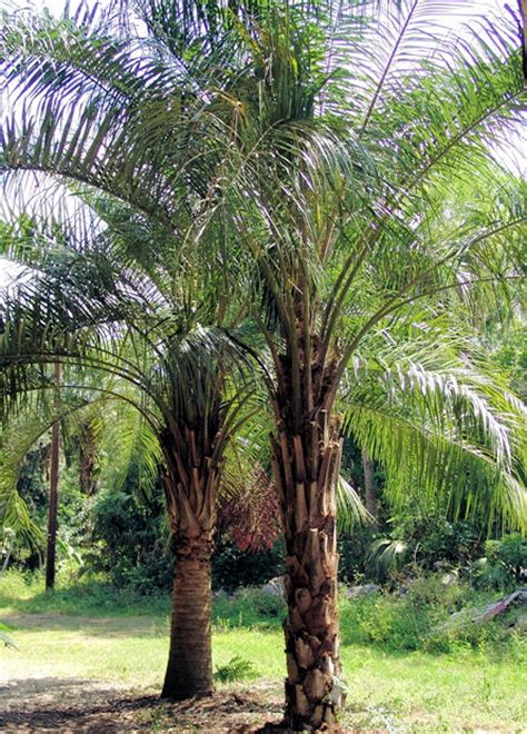 tropical palms coconut queen palm large