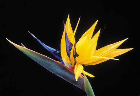 bird paradise flower flowers for flower lovers bird of paradise flower photos