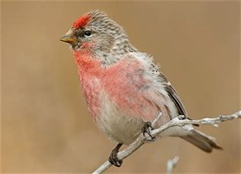common redpoll sounds all about birds cornell lab of