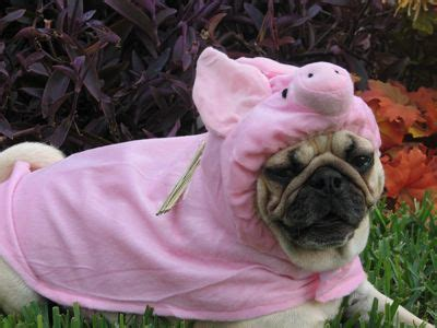 pig the pug costume ideas 17 best images about adorable pugs and pigs on happy pig pug and