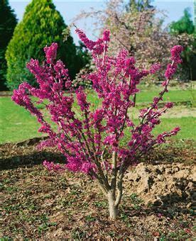 was ist lavendel 4956 die besten 25 judasbaum ideen auf blumenbeet