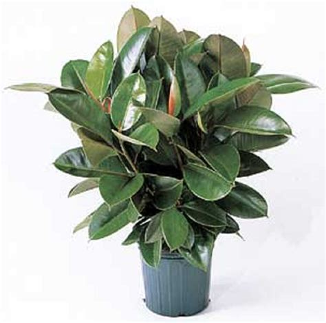 rubber plant may s floral