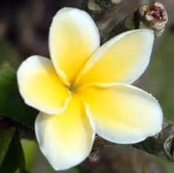 fiore di tiare erboristeria dell ortica tiare o meglio conosciuto