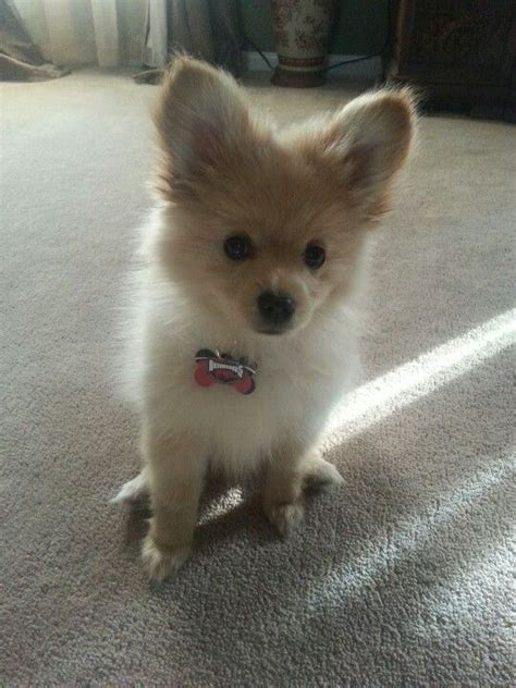 chihuahua mixed with pomeranian my pomeranian chihuahua mix puppy winston dogs of all kinds