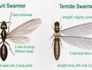 How To Get Rid Of Termites With Wings In House by Flying Ants Driverlayer Search Engine