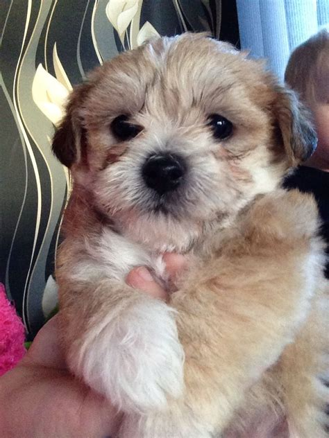 pomeranian puppies for sale scotland image gallery morkie puppies scotland