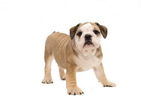 petland dogs bulldogs puppies for sale petland novi michigan