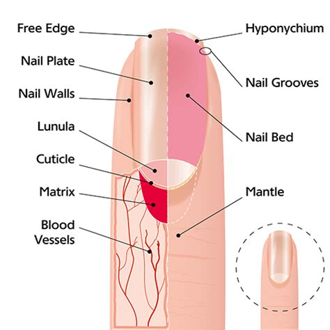 fingernail diagram or not hair and nails grow after panow