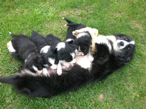 alimentazione border collie border collie allevamento veneta zoo foto 477 236278