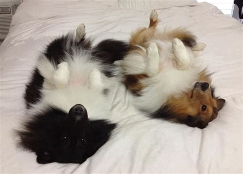 why do dogs sleep on their backs sheltie nation does your sheltie sleep on it s back sheltie nation