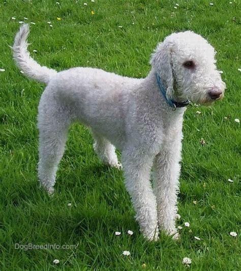 bedlington terrier puppies bedlington terrier breed pictures 5