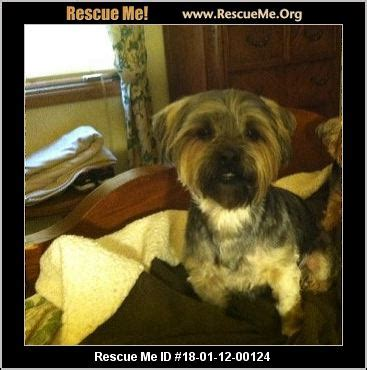yorkie rescue tn tennessee yorkie rescue adoptions rescueme org