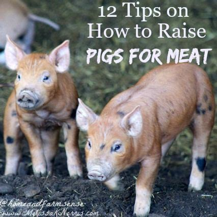 backyard pig farming 270 best pigs images on pinterest