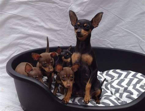 mini pin puppies kc reg miniature pinscher puppies for sale stoke on trent staffordshire pets4homes