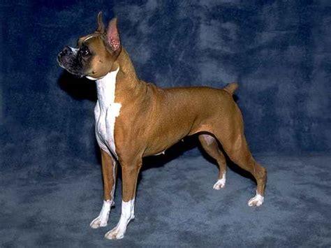 boxer appartamento breed directory boxer breed