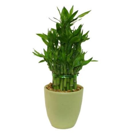 delray plants lucky bamboo medium in 4 in green pot