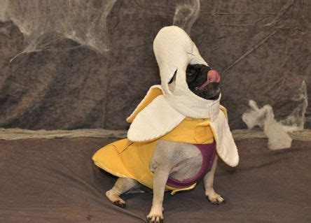can pugs eat bananas 17 best images about pugs on buddha garden costumes and pug
