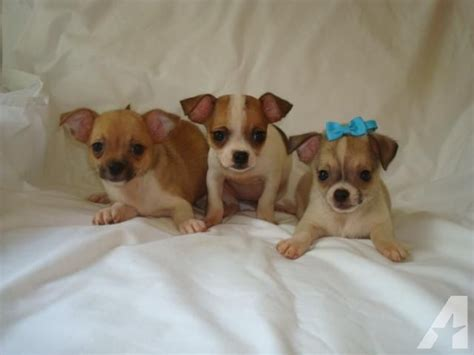 chihuahua puppies for sale in va adorable chihuahua puppies for sale in chesterfield virginia classified