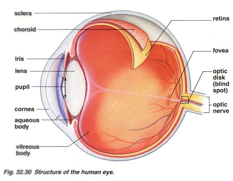 a diagram of a eye eyeball diagram structures of the human eye cool eh