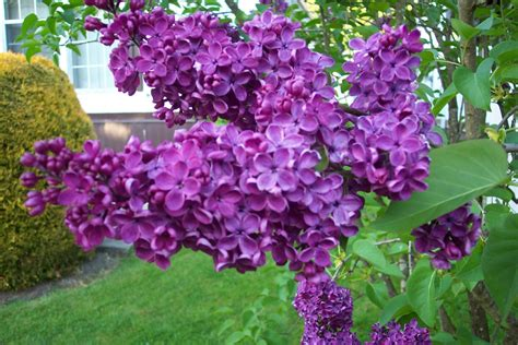 purple lilac the state flower of new hshire purple lilac
