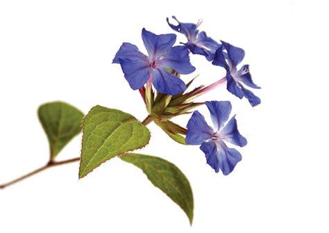 fiori di bach efficacia preparare i fiori di bach stetoscopio rivista medica