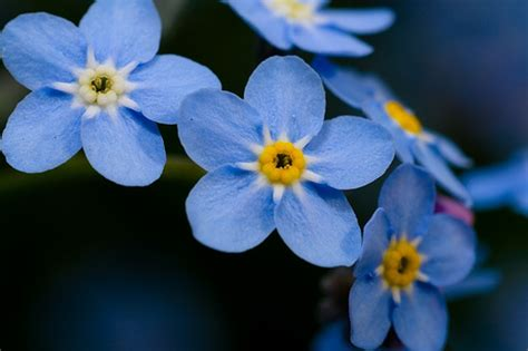 small blue flowers flickr photo sharing