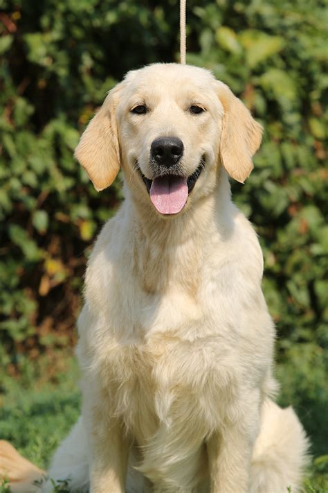 golden retriever image gallery golden retriever females blanca photo gallery breeds picture