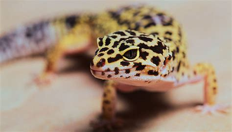 do leopard geckos need a heat l leopard gecko leopard gecko habitat and food information