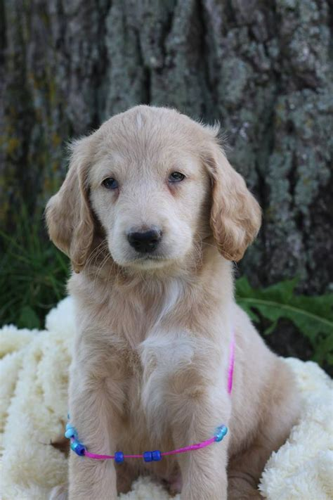 f1b more golden retriever f1b teddy goldendoodles boys orchard pups orchard pups