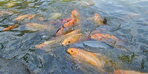 Peluang Usaha Budidaya Ikan Kembung peluang usaha ternak ikan masih menjanjikan mata usaha