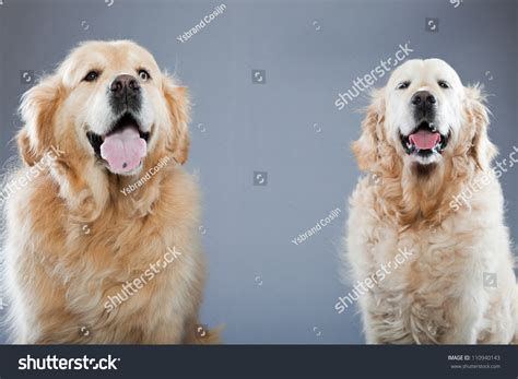 gray golden retriever puppies two golden retriever dogs together stock photo 110940143