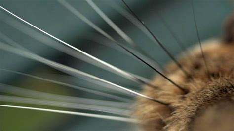 cutting whiskers the science your cat s most adorable features mnn nature network