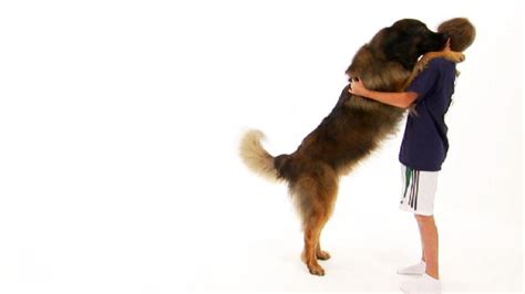 animal planet dogs 101 pomeranian dogs 101 selector breeds picture