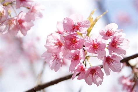 fiori di cigliegio simbologia giapponese significato fiori simbologia