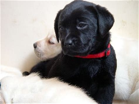 black lab puppies for sale in ma black lab puppies for sale in ma dogs in our photo