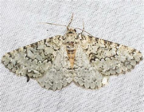 moth photographers group – carphoides setigera – 6623