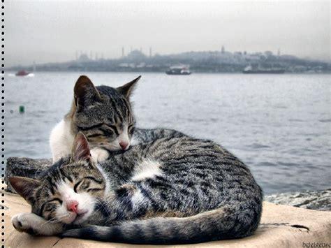 Sea Of Cats istanbul sea let me sleep animals cats hd desktop wallpaper