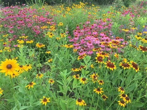 growing wildflowers in backyard wildflowers native wildflower seeds planting the old