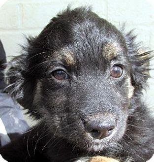 shih tzu rescue australia germantown md shih tzu australian shepherd mix meet juni a puppy for adoption