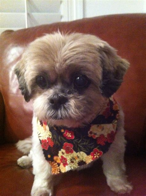 pictures of shih tzu haircuts keiko short haircut shih tzu my dogs pinterest