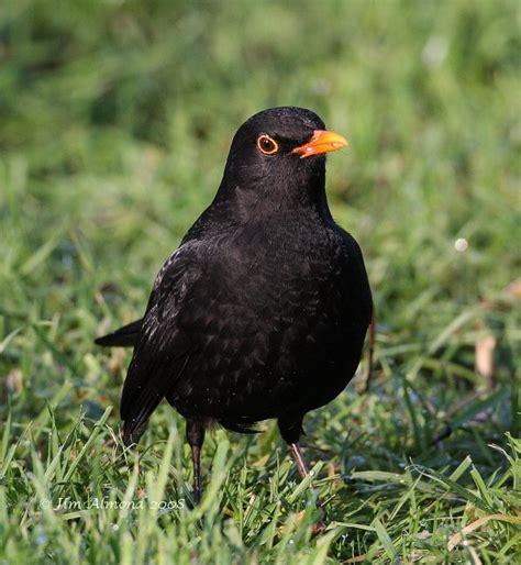 species gallery blackbird