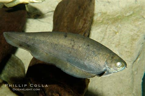 fish knife history knifefish photo stock photograph of an
