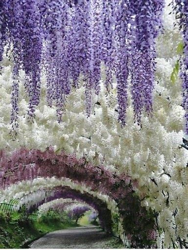 flower tunnel these pics of japan s wisteria tunnel are straight out of
